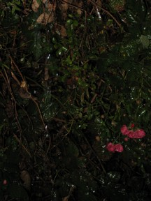 rain-on-bushes.JPG