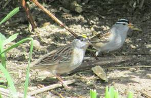 Golden-crowned and White-crowned sparrows