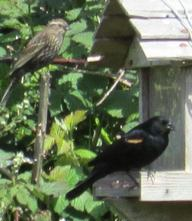 Female & male Redwing Blackbirds