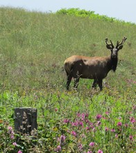Young elk near OR border