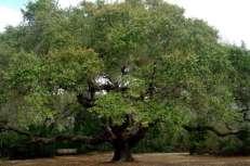 big old oak tree
