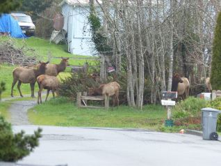 Elk at the end of Nickel Ave