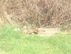 Fox in our backyard 3,9,18 crop