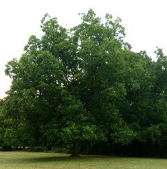 Pecan tree in GA