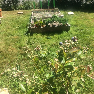 Blueberries and a raised garden 6,15,18.JPG